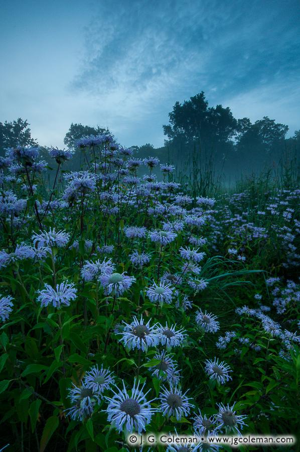 &#8220Bergamot Twilight&#8221, Bent of the River Audubon Sanctuary, Southbury, Connecticut