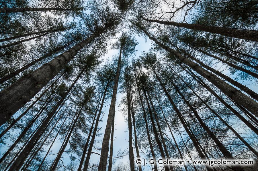&#8220Red Pine Twilight&#8221, Hidden Valley Preserve, Washington, Connecticut