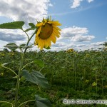 """Yankee Farmlands № 34 (Field of giant sunflowers in Connecticut's """"Quiet Corner"""", Griswold, Connecticut)"""