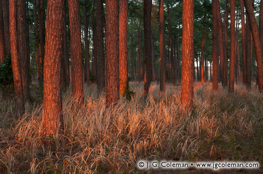 &#8220Last Light on the Meaher Pines&#8221, Meaher State Park, Spanish Fort, Alabama