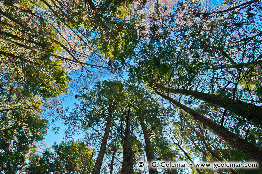 &#8220Hemlock Canopy at Dawn&#8221, Bafflin Audubon Sanctuary, Pomfret, Connecticut