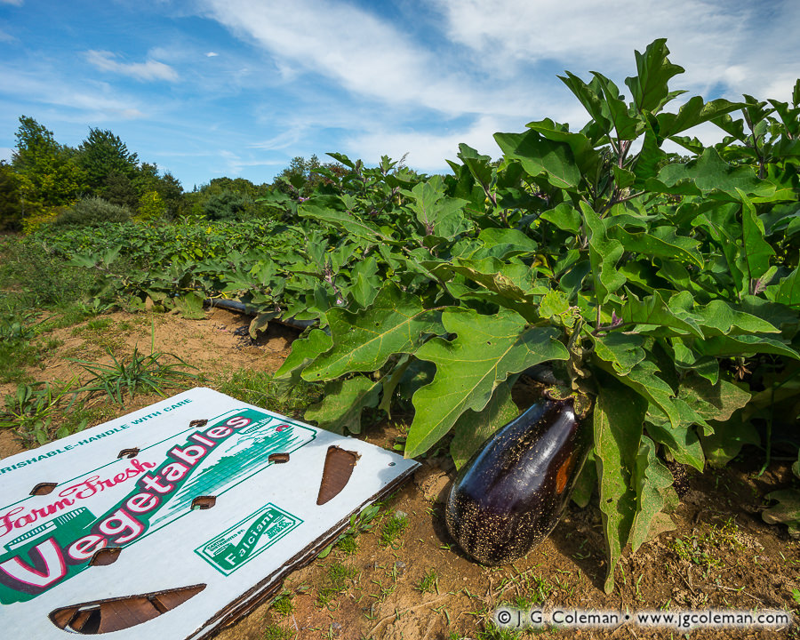 Yankee Farmlands № 84 (Field of eggplant and produce box, Bloomfield, Connecticut)